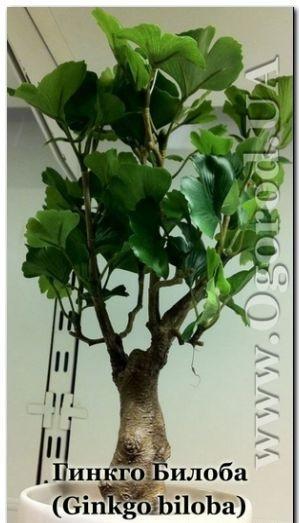 Выращивание гинкго билоба из семян 39